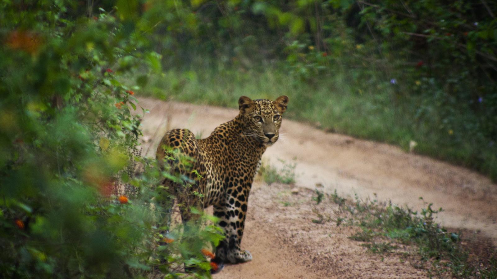 Wild Leopared in Sri Lanka by Kosala Bandara